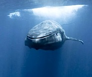 redbull.com meeting-the-eyes-of-a-blue-whale
