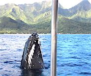 humpback_spyhop_tahiti_185