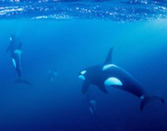 CondeNast_swimming-with-orcas-185x145
