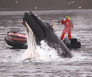 Pierre_humpback_lunge_feeding_inflatable185x155
